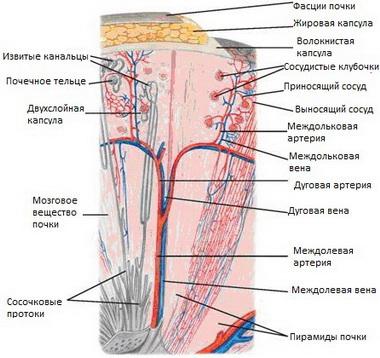 Структура нефрона