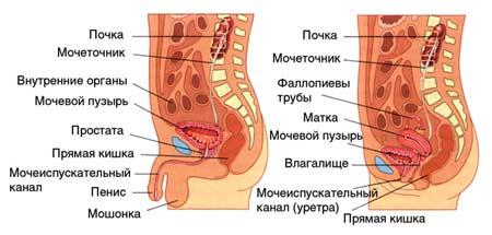 zdorovaya-uretra-zhenshin-foto