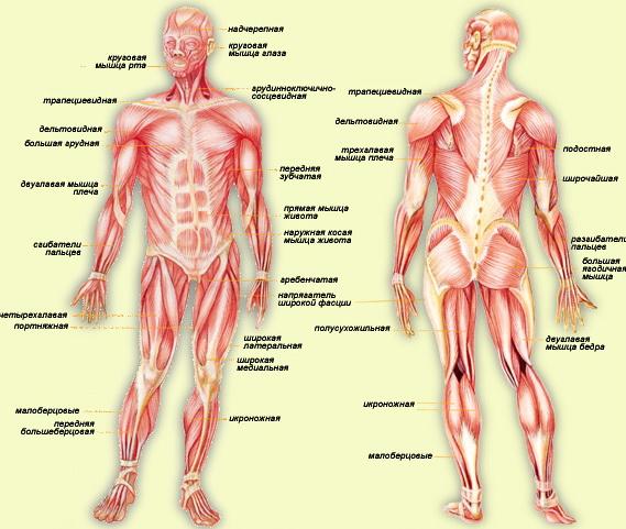 Скелет и мышцы человека реферат 3135